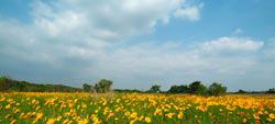 川島金系菊